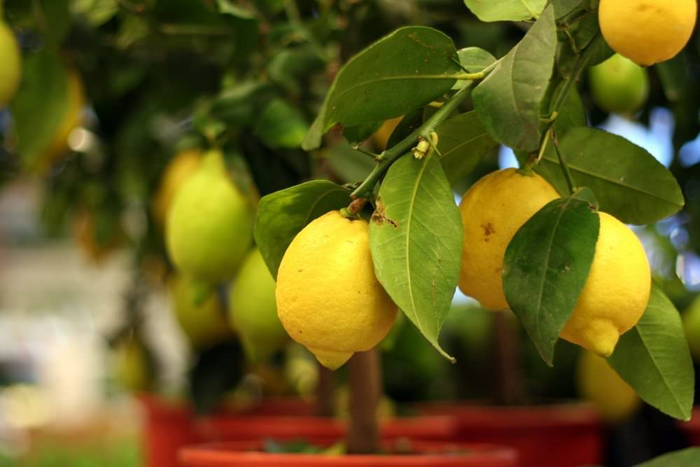 How to grow a lemon tree from seed easily in your own home Planting lemon seeds for smell